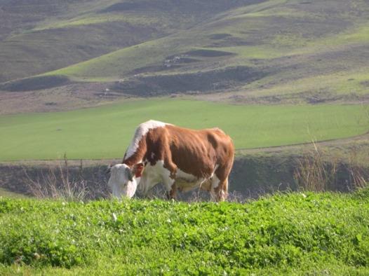 פרה שלא דואגת לשוק החלב